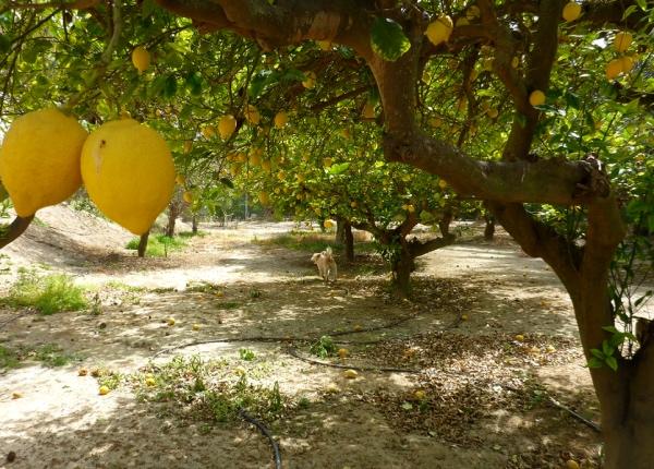 Spain Lemons